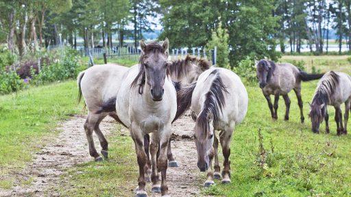 Savvaļas zirgu un tauru ganības Dabas parkā  Pape