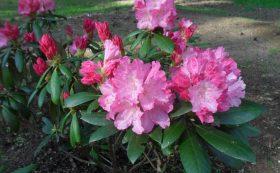 Cyravos rododendrų sodas