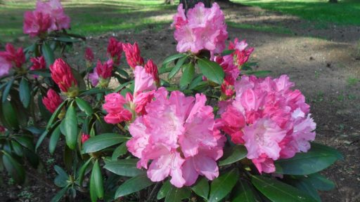 Rododendrengarten von Cīrava